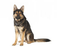 Old German Shepherd dog sitting Royalty Free Stock Image