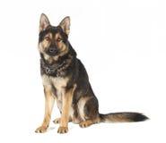 Old German Shepherd dog sitting Royalty Free Stock Image