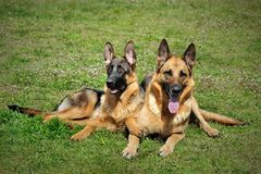 And old German shepherd dog sitting on grass. Two pretty German shepherd dog sitting on grass background Stock Images