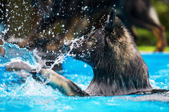Old German shepherd dog swims in a pool. Old German shepherd dog swims in a swimming-pool Royalty Free Stock Images