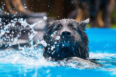 Old German shepherd dog swims in a pool. Old German shepherd dog swims in a swimming-pool Stock Photos