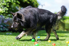 Old German Shepherd dog walks in the garden. Picture of an Old German Shepherd dog who walks in the garden Royalty Free Stock Photo