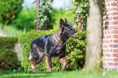 Old German Shepherd dog walks in the garden. Picture of an Old German Shepherd dog who walks in the garden Stock Photos