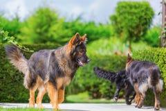 Old German Shepherd dogs in the garden Stock Photography