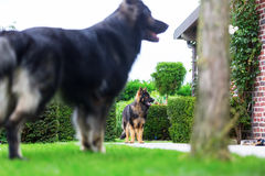 Old German Shepherd dogs in the garden Stock Images