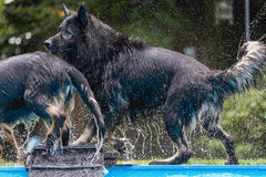Old German Shepherd dogs play at a swimming pool Royalty Free Stock Photo