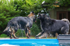 Old German Shepherd dogs play at a swimming pool Royalty Free Stock Images