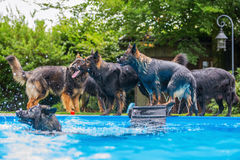 Old German Shepherd dogs playing at a swimming pool Royalty Free Stock Photography