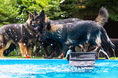 Old German Shepherd dogs playing at a swimming pool Royalty Free Stock Image