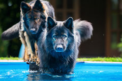 Old German shepherd dogs at the pool Stock Photos