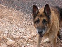 Old German Shepherd, grey muzzle. Old German Shepherd dog with teeth missing.  Old boy looking face on. Elderly dog with gentle eyes Royalty Free Stock Image
