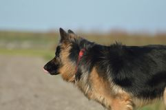 Old German Shepherd long hair. Who looks quietly in the field, where she sees some birds Royalty Free Stock Photography