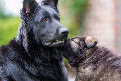 Old German Shepherd mother dog with her puppy. Picture of an Old German Shepherd mother dog with her puppy Royalty Free Stock Photo
