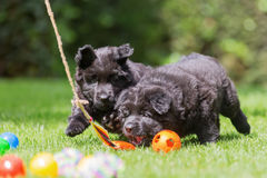 Old German shepherd puppies play with a flirt tool. Two old German shepherd puppies are playing with a flirt tool in the garden royalty free stock photography