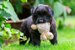 Old German Shepherd puppy plays with a soft toy Stock Photo