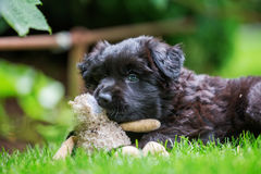 Old German shepherd puppy plays with a soft toy Stock Photos