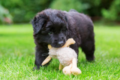 Old German Shepherd puppy plays with a soft toy Royalty Free Stock Images