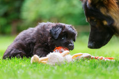 Old German Shepherd puppy plays with a soft toy Royalty Free Stock Photos