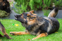 Old German shepherd shows aggression. Against another one Stock Photos