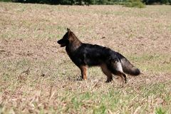 German shepherd is standing on a stubble field. Old german shepherd is standing on a stubble field in the sunshine Royalty Free Stock Image