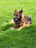 Old german Sheppard. Dog Stock Images