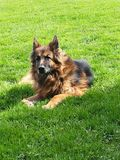 Old german Sheppard. Dog Stock Photography