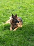 Old german Sheppard. Dog Royalty Free Stock Photos