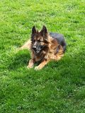 Old german Sheppard. Dog Royalty Free Stock Photography