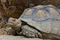 An old giant turtle Royalty Free Stock Photography