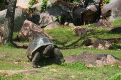 Old giant turtle in the garden Royalty Free Stock Image