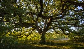 Old oak XXL stock photo