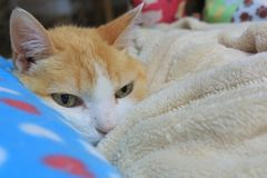 Old ginger cat laid on his bed keeping himself warm. Green eyes, skinny cat, fluffy, good boy royalty free stock photo