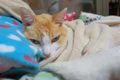 Old ginger cat laid on his bed keeping himself warm. Green eyes, skinny cat, fluffy, good boy stock image