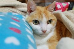 Old ginger cat laid on his bed keeping himself warm. Green eyes, skinny cat, fluffy, good boy stock photos