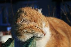 Old ginger cat rubbing against wooden Sabor in March sitting on. The fence in the village royalty free stock photo