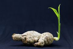 Free Old Ginger Root With Young Green Sprout. Spring Sprout Of Plant. Stock Images - 103202074