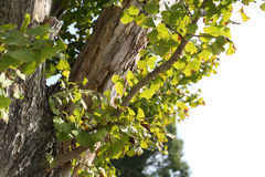 Old Gingko tree Stock Images