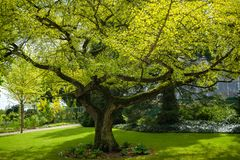 Old Ginkgo tree from 1860 in castle garden of Castle Schwerin in springtime stock photos