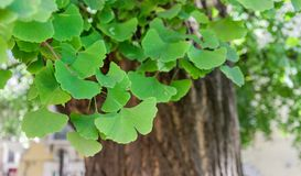 Old ginkgo tree. Close-up of an old ginkgo tree in Verona, Italy Stock Photography