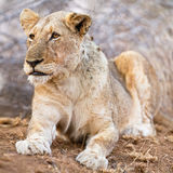Old girl. Hungry lioness sits and watches a small herd of impala not too far away, South Africa Stock Image