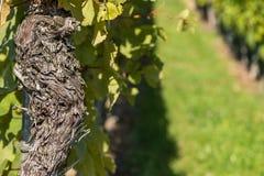 Old gnarled bark of a vine Stock Image