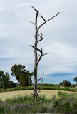 Old gnarled and dead tree in high definition vertical panorama Royalty Free Stock Photography