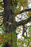 Old, gnarled oak Stock Photo