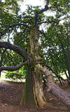 Old gnarled tree with bended branches Royalty Free Stock Photo