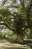 Old gnarled tree Royalty Free Stock Image