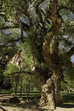 Old gnarled tree Stock Images