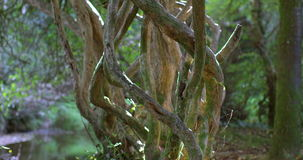 Old gnarled tree in the sunlight. In a forest stock video footage