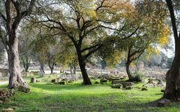 Old gnarled trees frame the ruins of ancient Olympia with pillars and blocks arranged in moss covered rows with paths for tourists. To roam Stock Photos