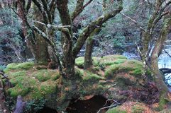 Old gnarled trees on a moss-covered island in a stream. A cluster of bare trees stand on moss covered rocks in a stream. Fallen leaves surround them. Silver Royalty Free Stock Image