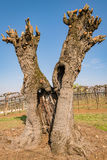 Old gnarled and twisted mulberry tree. Royalty Free Stock Photography